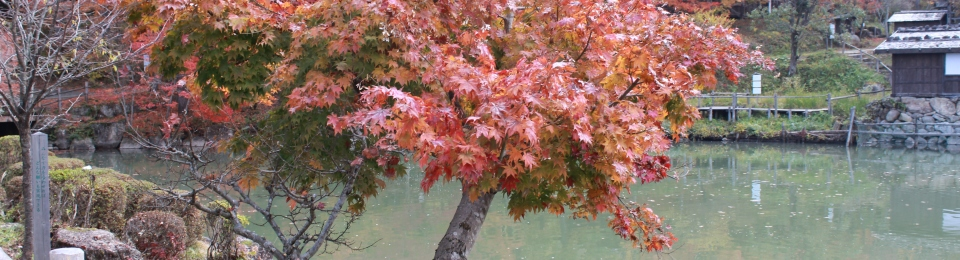 Maple tree, with orange foliage in the Hida Folk Village, Takayama. In the background is a lake and more trees.